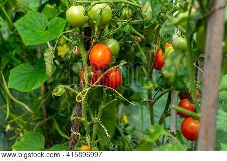 Organic Bio Tomatoes Ripen In The Greenhouse