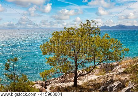 Pine tree on the Adriatic coast in Croatia