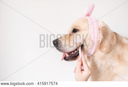 Beauty Dog With Pink Roller Facial Massager. Golden Retriever Sits On A White Background In A Pink H