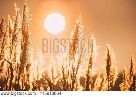 Beautiful Dry Grass In Sunset Sunlight. Sun Shining. Sunshine And Wild Plants. Nature At Sunrise. Be