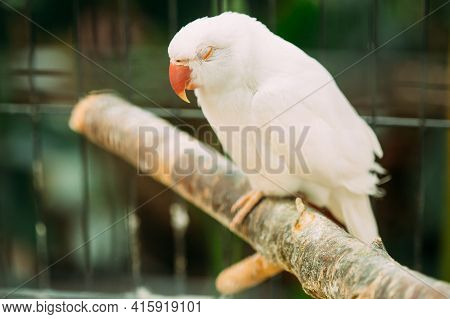 Sleeping Rose-ringed Parakeet Also Known As The Ring-necked Parakeet In Zoo. Wild Bird In Cage. Slee