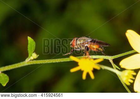 Flower Flies , Stomorhina Lunata, Satara, Maharashtra, India