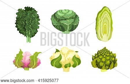 Different Cabbage With Cauliflower And Romanesco Broccoli Vector Set