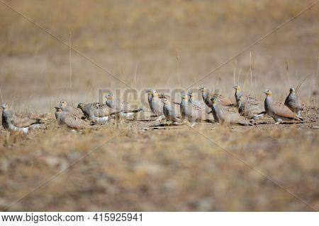 Spotted Sandgrouse, Pterocles Senegallus, Ladakh, Jammu Kashmir, India