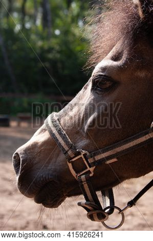 Portrait Of A Horse Brown Pony In Profile, In A Bridle Outside The Premises In The Summer On The Far