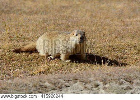 Marmot Full Body, Marmota Flaviventris, Ladakh, Jammu Kashmir, India