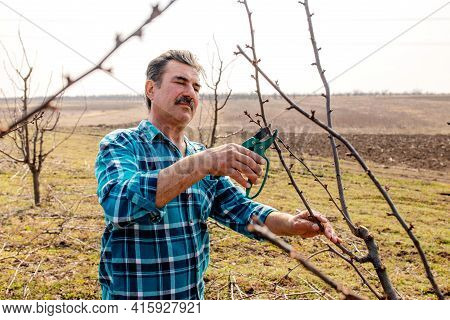 Senior Man Cutting A Branch With Pruning Scissors In Springtime. Gardening In Orchard At Springtime.