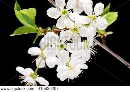 Flowering white Cherry flowers on black background. Opening Sakura flowers on branches Cherry tree at spring.