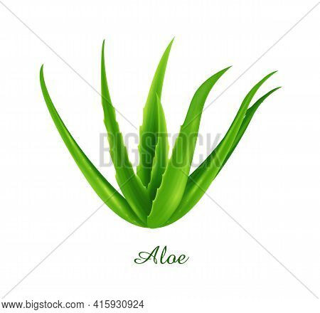 Aloe Plant, Green Grasses Herbs And Plants Collection, Realistic Vector Illustration
