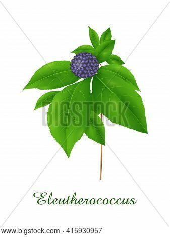 Eleutherococcus Plant, Green Grasses Herbs And Plants Collection, Realistic Vector Illustration