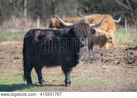 Scottish Highland Cattle In The Mountains - A Black Scottish Highland Cattle With Large Horns.