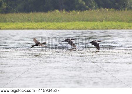 Birds Flying In A Row At The Lake Maracaibo, Venezuela