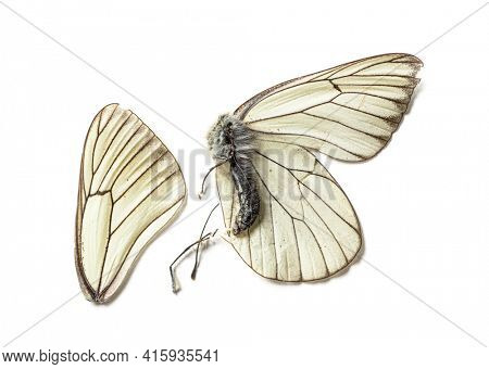 Dead black and white butterfly In state of decomposition