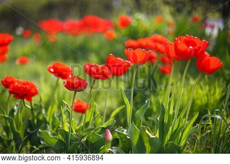 Buds Of Red Tulips With Fresh Green Leaves In Soft Lights, Sun Rays With Place For Your Text. Hollan