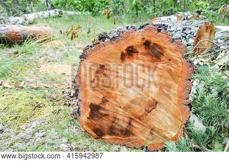 Selective Focus Texture Of Sawn Tree Trunk On Blurred Background Of Green Grass. Wet Birch Log. The