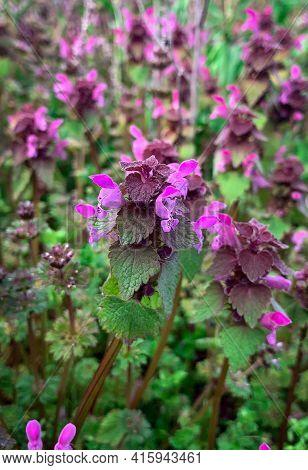 Close Up Of Blooming Purple Dead-nettle Flower. Wild Spring Flowers On The Green Field - Purple Arch