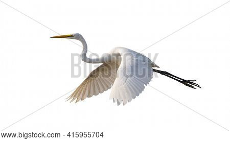 Great egret isolated on white background