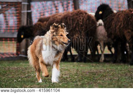 Sheltie Is Tending Sheep In A Paddock On A Farm. Testing The Shepherd Instinct In Young Shepherds. A