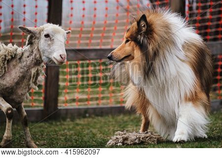 Scottish Shepherd Collie Meets A Sheep. A Long-haired Collie Of A Red Color With A Chic Mane And Hai