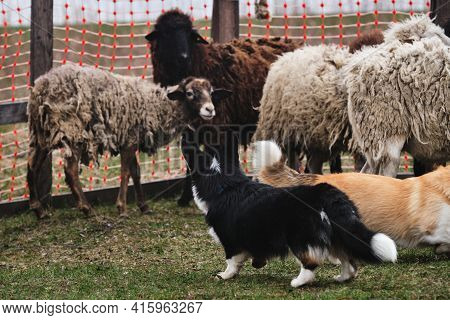 Two Corgi Pembroke Red And Tricolor Black Graze Sheep In A Pen On The Farm. Charming Little Shepherd
