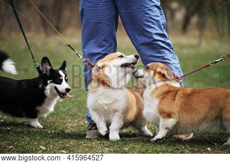 Three Pembroke Welsh Corgi Puppies On Walk In Park. Red And Tricolor Little English Shepherds Walk S