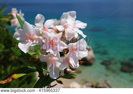 Oleander Flowers In Croatia. Dalmatia Adriatic Coast. Croatia Nature In Mimice.