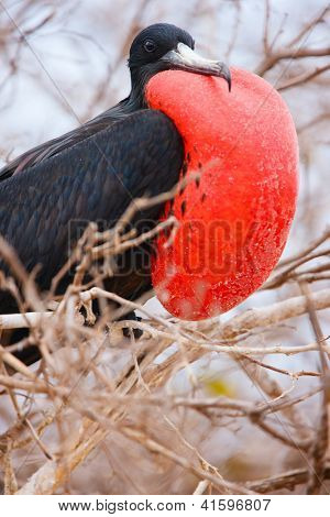 Close up of male magnificent frigatebird with inflated throat pouch poster