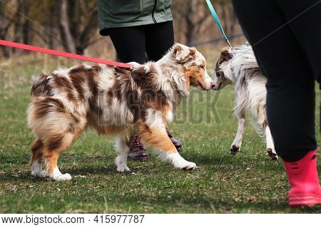 Meet The Border Collie And Aussie In The Park On Leashes. Walk With The Sheepdogs In The Fresh Air.