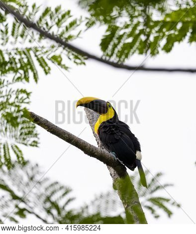 Chestnut-mandibled Toucan Species Swainsons Toucan Resting On A Tree In Its Natural Tropical Habitat