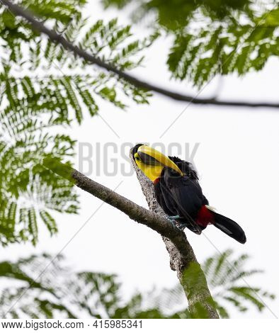 Chestnut-mandibled Toucan Species Swainsons Toucan Resting On A Tree And Cleans His Plumage In Its H