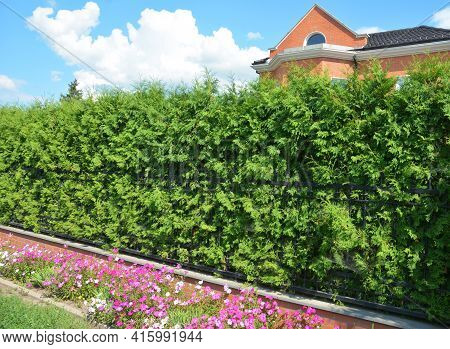 A Wrought Iron, Cast Iron Fence With A Thick Emerald Green Thuja, Arborvitae Green Hedge, Privacy He