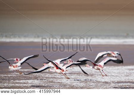 Group Of Pink Flamingos Flying Over A Lake Close To The Eduardo Avaroa National Park In Bolivia