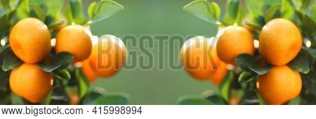 Mandarin Tree Banner.orchard Banner. Ripe Tangerine Fruits On The Branches On Green Background .orga