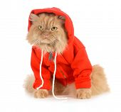 cat wearing red coat isolated on white background poster