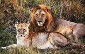 Male lion and female lion - a couple, on savanna. Safari in Serengeti, Tanzania, Africa poster
