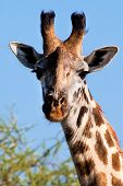 Giraffe portrait close-up, looking at the camera. Safari in Serengeti, Tanzania, Africa poster