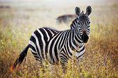 Zebra portrait on African savanna. Safari in Serengeti, Tanzania poster