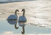 Two swans on ice in winter in sunlight poster