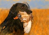 oil painting portrait of hunting black labrador with duck poster