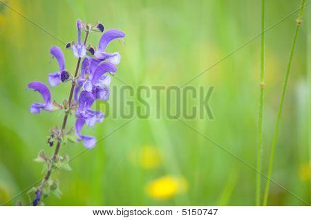 Blue Wild Sage