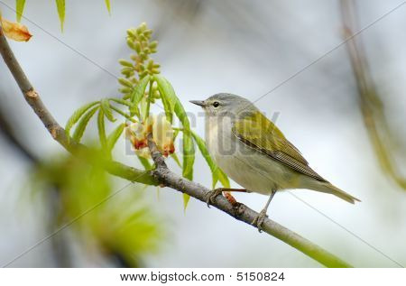 Tennesse Warbler (vermivora Peregrina) On Branch