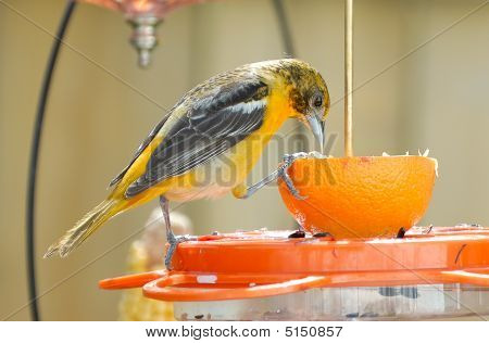 Juvenile Baltimore Oriole On Feeder