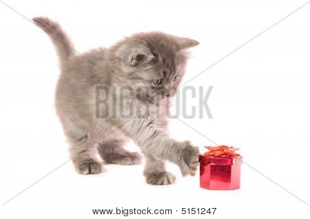 The small grey kitten concerns a red box with a gift on white background poster