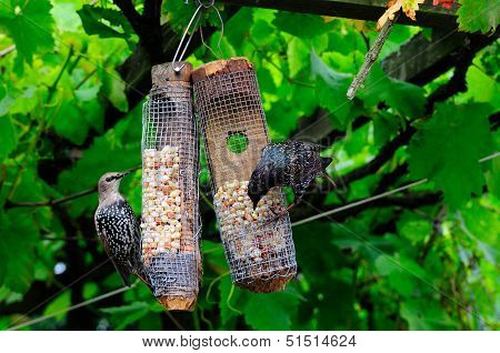 Mature And Juvenile Starlings.