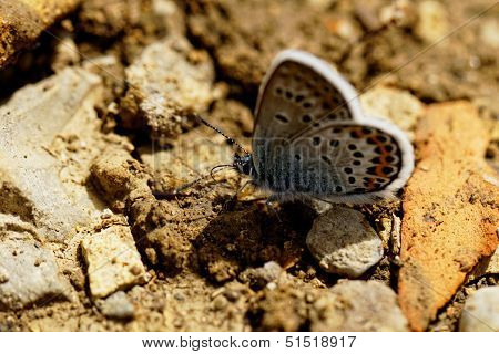 The Silver-studded Blue (plebejus Argus) Butterfly