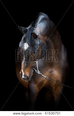 Horse head isolated on black, Trakehner dark bay horse.