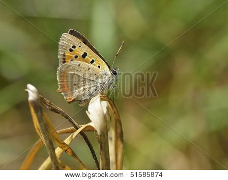 Butterfly - Plebejus Argus