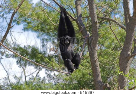 Siamang Gibbon 3