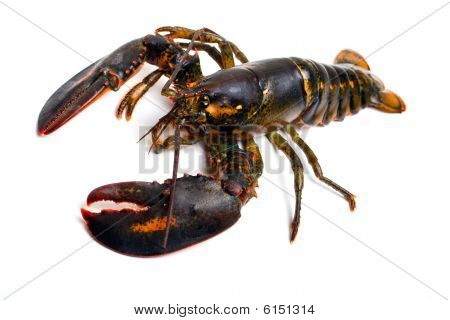 living lobster isolated on white background horizontal poster