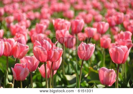 Tulip Fields Mt Vernon Wa